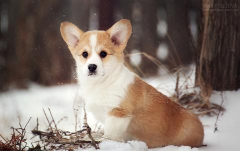 Щенок вельш корги пемброк. Puppy welsh corgi pembroke